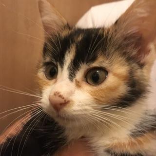 美猫三毛2、元気な生後2ヶ月