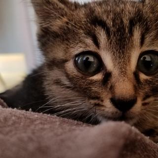 手のひらにのる程の小さなキジ猫ちゃん(男の子)