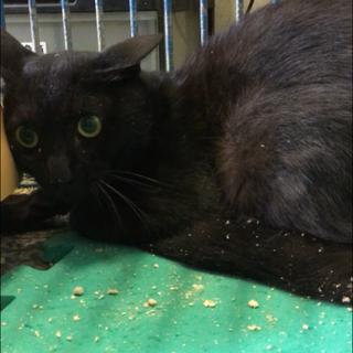 怯えて震えています毛艶のよい黒猫