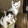 三毛&黒白丸顔な超美猫5兄妹ペアで サムネイル4
