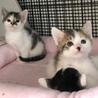 三毛&黒白丸顔な超美猫5兄妹ペアで サムネイル5