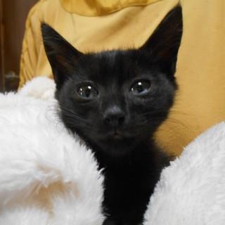 抱っこ大好き ♪ 黒猫1.5ヵ月 はるかちゃん