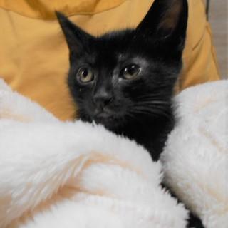 活発な黒猫女子 ♪ ももかちゃん1.5ヵ月