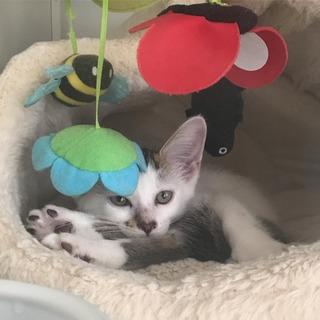 生後2.5ヵ月 白キジ仔猫* 仮名ロビアちゃん
