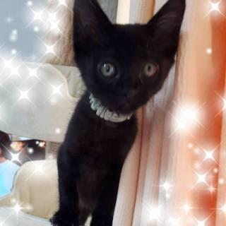 3ヶ月弱位  やんちゃ坊主の黒猫ルーフくん!