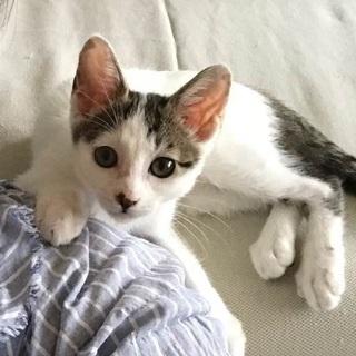 生後2.5ヵ月 白キジ仔猫* 仮名ソイちゃん