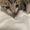 大大大至急です‼︎可愛い子猫の里親さん募集‼︎ サムネイル2