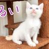 生後約二ヶ月半、美形白猫三姉妹