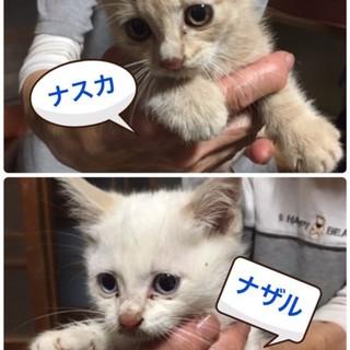1.5ヶ月6匹♡クリーム茶トラパステル三毛シャム