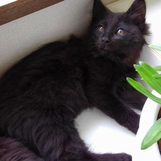 半長毛の3ヵ月位の子猫(3匹中黒)