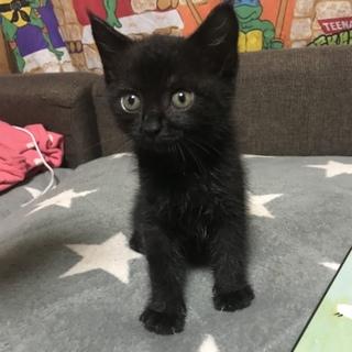 急募!黒猫ちゃん1カ月〜2ヶ月程度の里親様募集