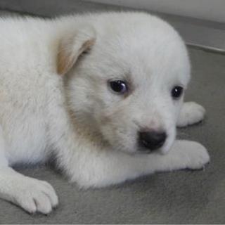 里親様を待っています。子犬♀白薄茶124