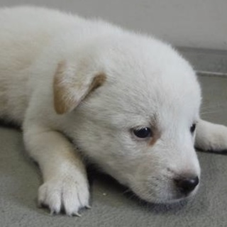 里親様を待っています。子犬♀白薄茶125