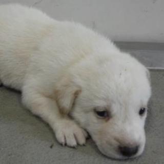 里親様を待っています。子犬♀白薄茶126