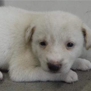 里親様を待っています。子犬♀白薄茶127