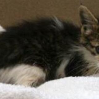 ふわふわの可愛い子猫。収容期限7/29朝迄