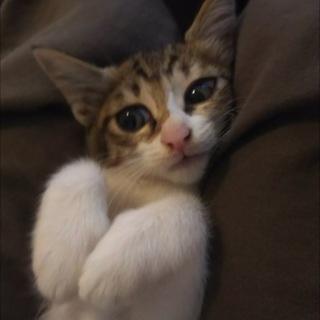 可愛すぎる美猫なキジ白ちゃん♡家族募集中!