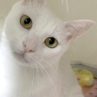 白ネコ令くんの飼い主さんを募集!