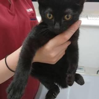 可愛い黒猫2ヶ月男の子!!県外譲渡可