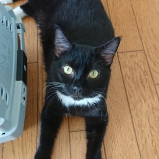 黒白美猫の足長マンチカン