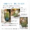 2019 4/24お昼 豊中市 小桜インコ 迷子