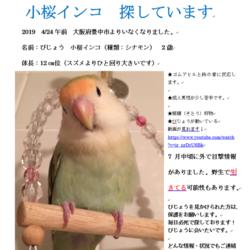 2019 4/24お昼 豊中市 小桜インコ 迷子サムネイル