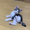 可愛いキジ白の子猫♪
