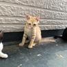 ちゃとらの子猫 サムネイル2