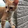 ちゃとらの子猫 サムネイル3