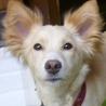 オヤツ目線♪ 京都から里親募集中 可愛い中型犬mix♀