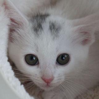 愛くるしい美猫、ダイヤちゃん♪