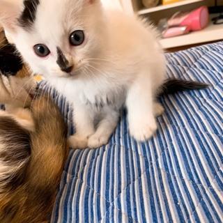 生後約2~3ヶ月の子猫