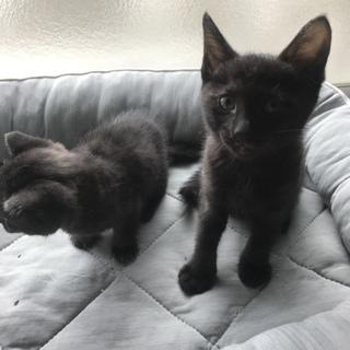 【至急】黒猫2匹の里親募集です!