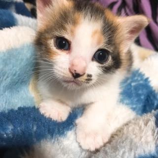三毛猫のかわいい子猫です。