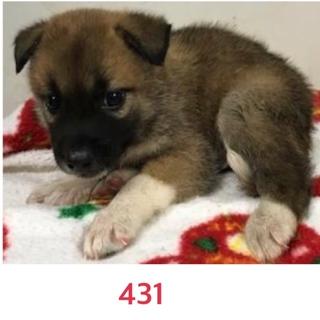 2匹兄妹の子犬ちゃん☆431, 432