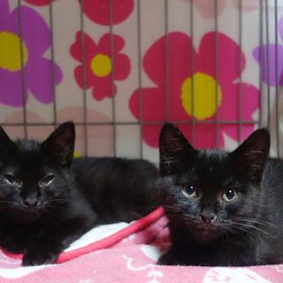 ブラックビューティ子猫☆兄と妹