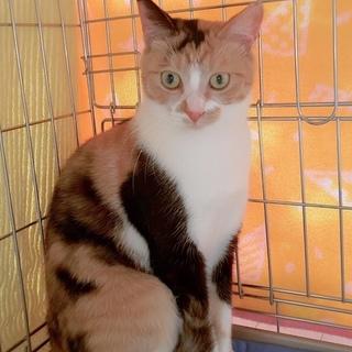 小柄で可愛い三毛猫チェルシー