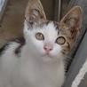 【再掲載】里親募集!キジ白子猫(おそらく♂)