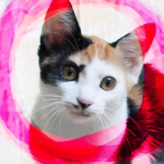 10ヶ月♡気品あふれる三毛猫オーロラ