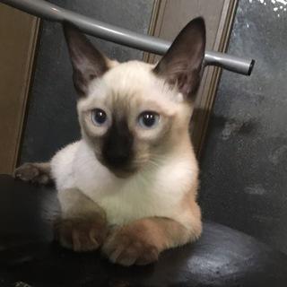 3か月シャム猫雑種