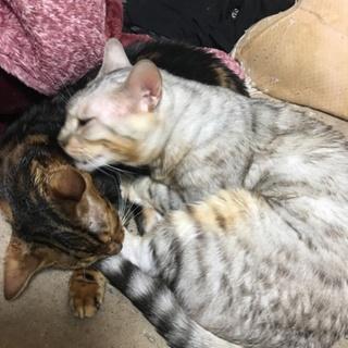 成猫ベンガル(スノー、マーブルの2匹)1匹からOK
