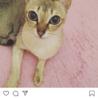 希少!超美猫☆小さいシンガプーラ!