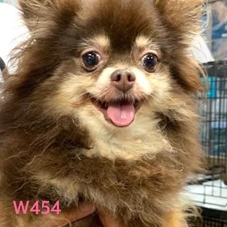 個体番号:W454 可愛いポメちゃん