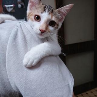 超美猫!三毛姉妹★椿★背中に黒が多め