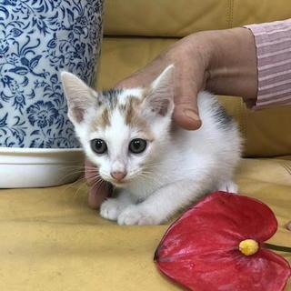 可愛いミケ子猫、元気に遊んでいます。