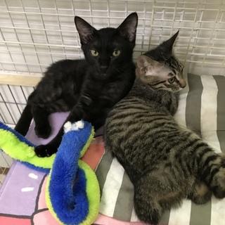 ジジ似の黒猫こしあん君