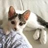 生後4ヵ月 白キジ仔猫* 仮名ソイちゃん