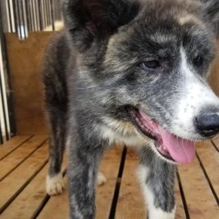 生後4ヶ月の秋田犬