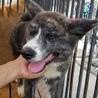 生後4ヶ月の秋田犬 サムネイル3