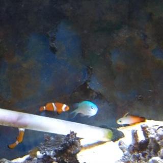 海水魚の里親募集